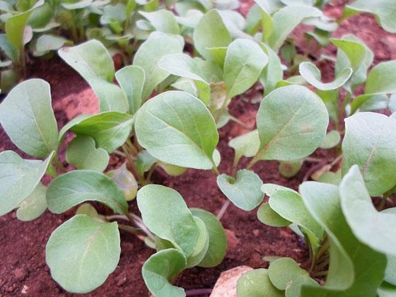 ルッコラは草丈が40~80cm