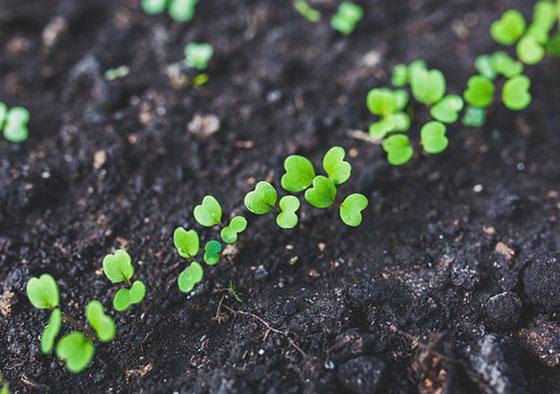 ルッコラは一年草です