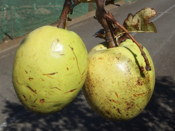 花梨はバラ科の果実