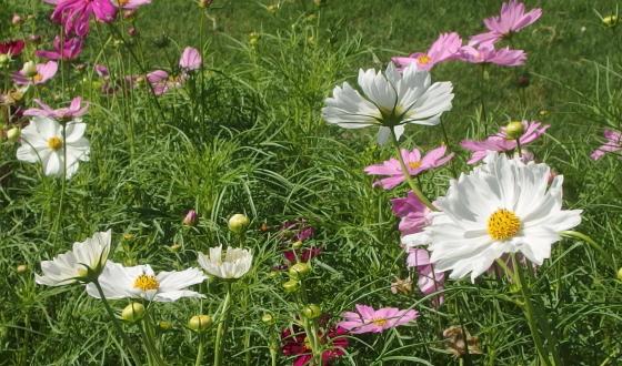 コスモスは育てやすい植物です