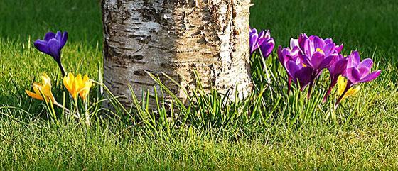 クロッカスは春に咲く花です