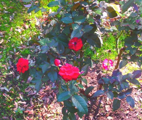 砧公園のバラは少しだけ咲いていた