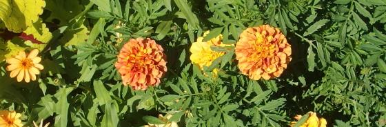 マリーゴールドはキク科の花です
