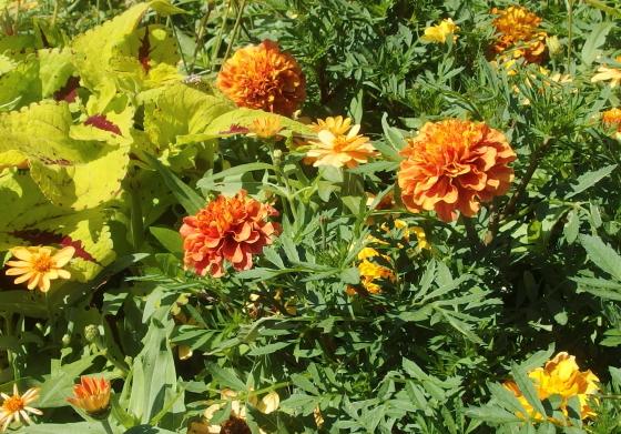 マリーゴールドの和名は千寿菊です