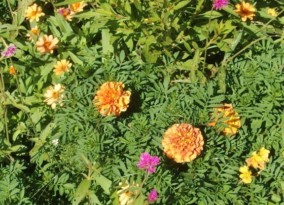 マリーゴールドは夏から秋まで咲き続ける