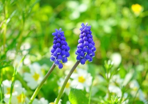 ムスカリは秋に植えて春に咲く花です