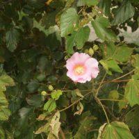 多摩川の河川敷に咲く花