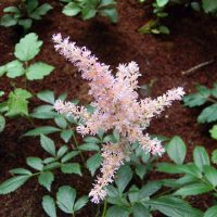 アスチルベは草丈20~100cm