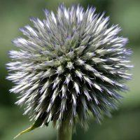 エキノプスは7~9月に開花する