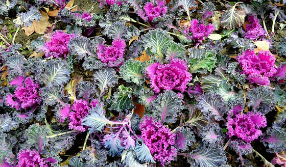 ハボタンはアブラナ科の植物
