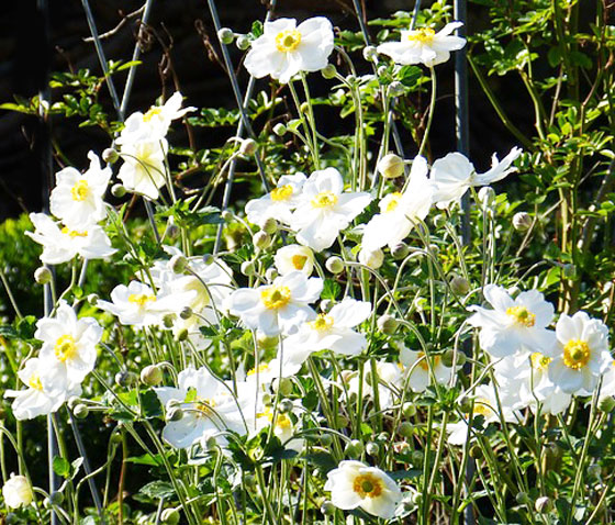 シュウメイギクは夏から秋に開花する