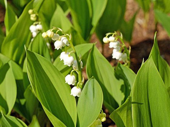 スズランは白色の小花を咲かせる