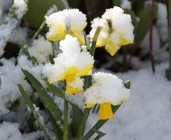 スイセンは開花期は11~4月