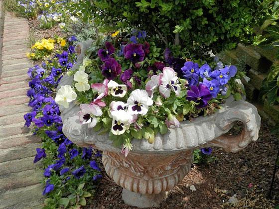 パンジーは春に咲く花