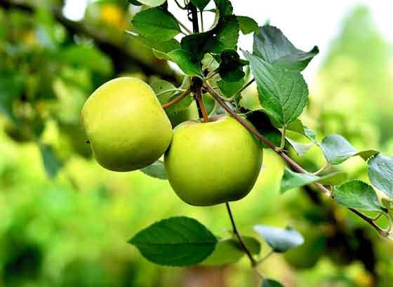 リンゴは中央アジア原産