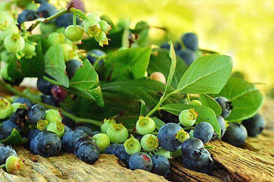 ブルーベリーは育てやすい果樹