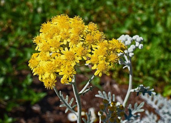 シロタエギクは寒さに強い植物です