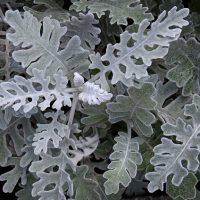 シロタエギクは育てやすい植物