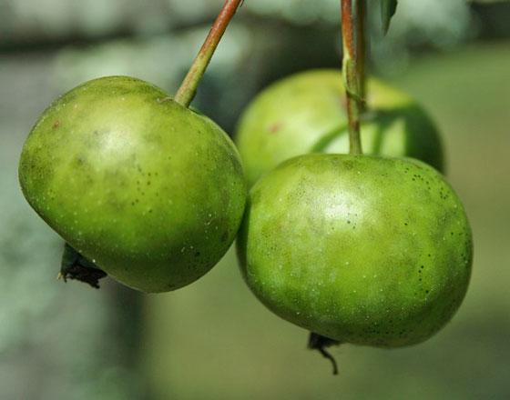 ヒメリンゴは5弁花です