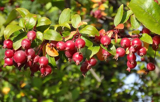 ヒメリンゴはバラ科です