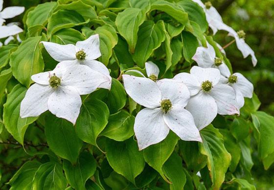 ハナミズキは白色やローズ色の花を咲かせる