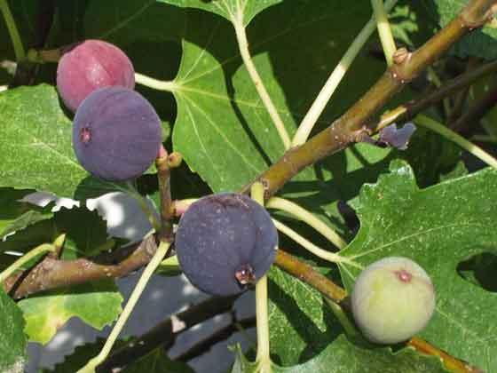 イチジクは育てやすい果樹