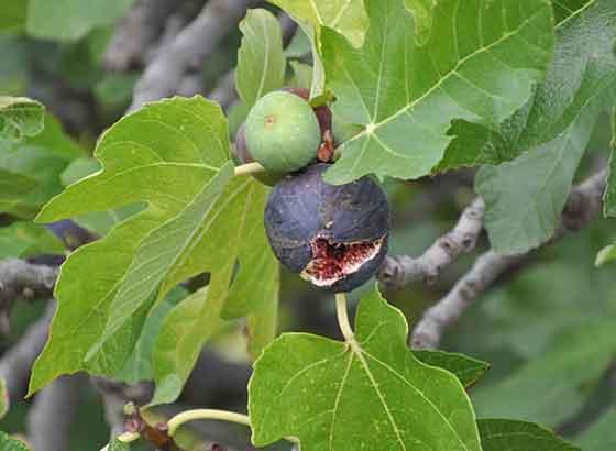 イチジクは果物です
