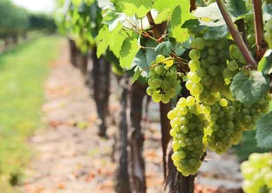 ブドウは中近東の原産