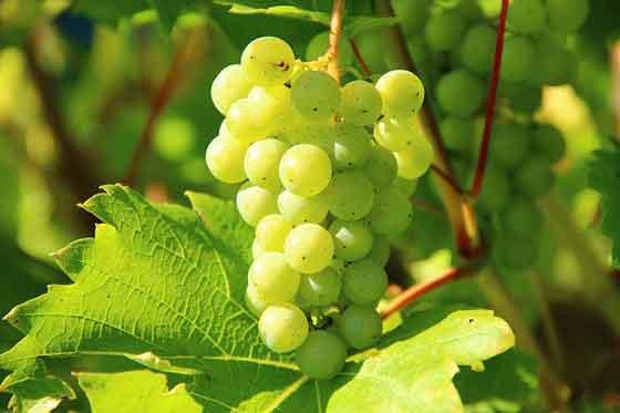 ブドウはワインの原料になります