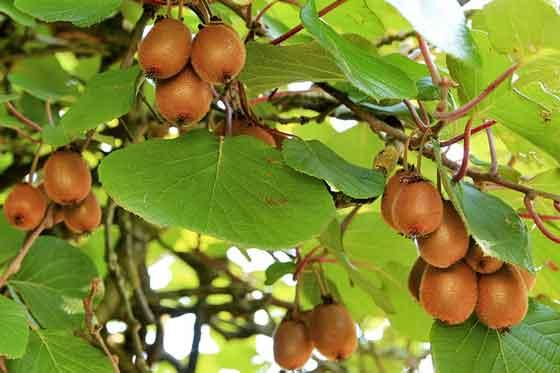 キウイフルーツは落葉果樹