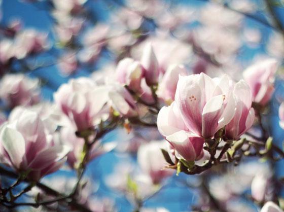 コブシはモクレン科の花木です