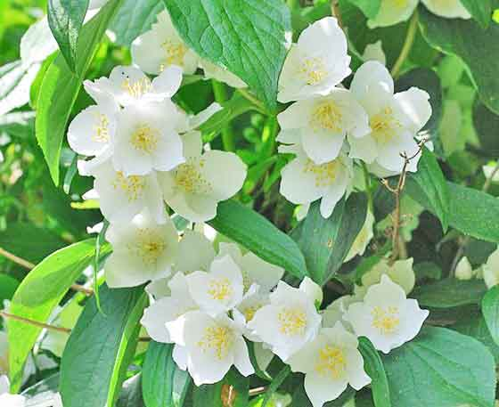ライラックの花は芳香がする