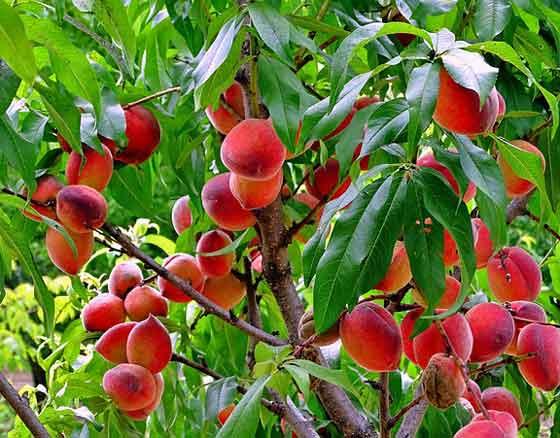 モモは鉢栽培もできる