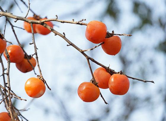 カキノキは落葉樹です
