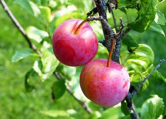 スモモはバラ科の果樹です