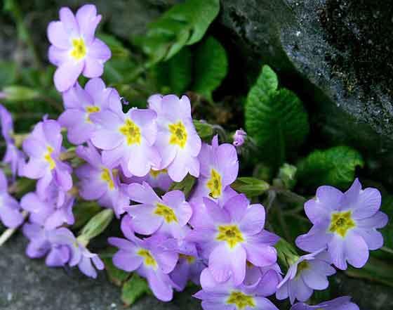 ウンナンサクラソウは冬に開花する