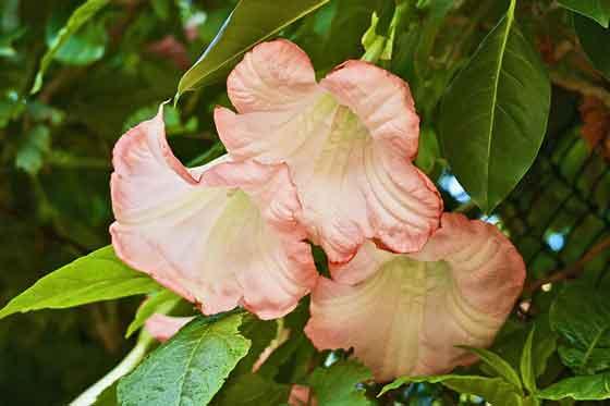 エンジェルストランペットは花木です