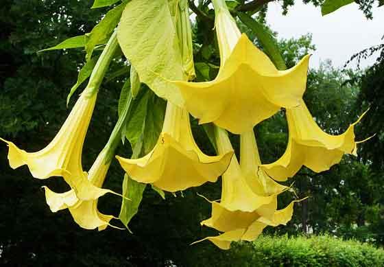 エンジェルストランペットは開花期が長い