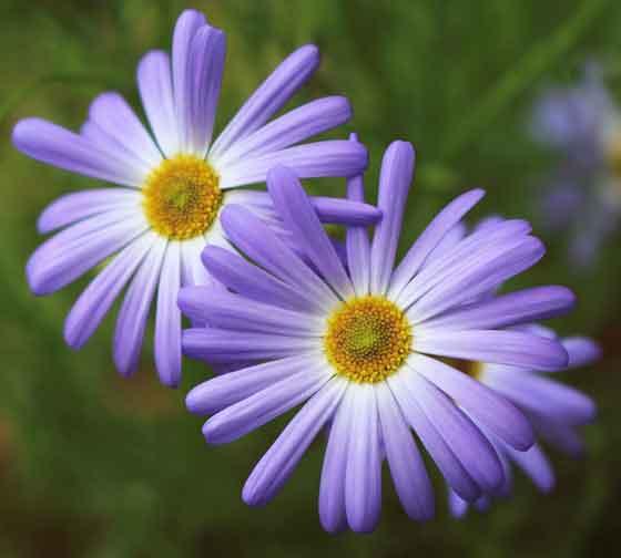 ブラキカムは春から秋まで開花する