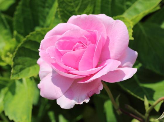 ガートルード・ジェキルは芳香種です