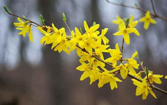 レンギョウの花色は鮮やかな黄色