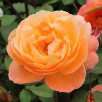 レディエマ・ハミルトンは芳香種です