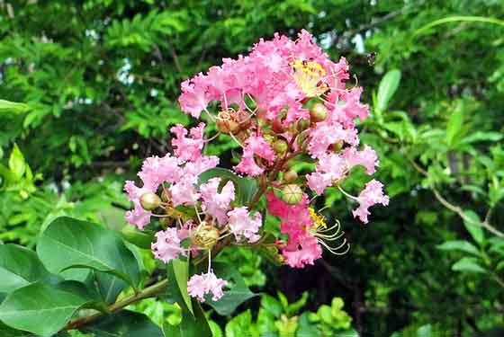 サルスベリは落葉樹です