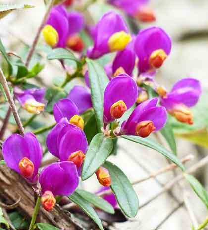 トキワヒメハギはヒメハギ科の植物です