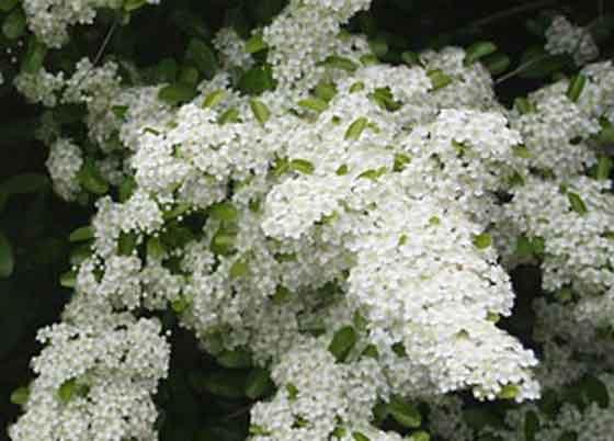 ピラカンサは白色の花を咲かせる