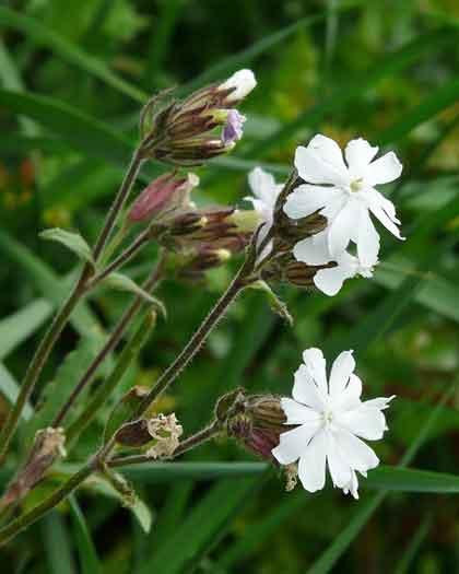 シレネは5月頃に開花する