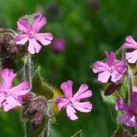 シレネはナデシコ科の花