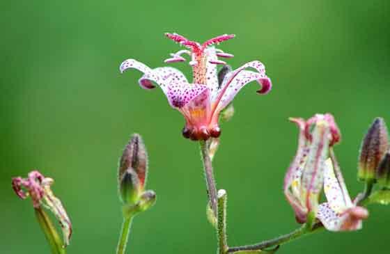 ホトトギスは8月頃に開花する