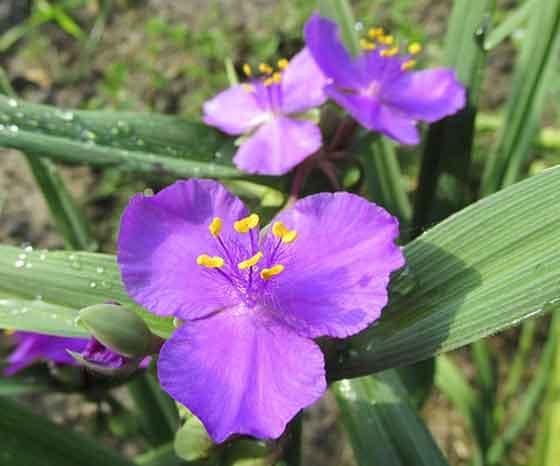 トラデスカンティアは草丈20~30cm