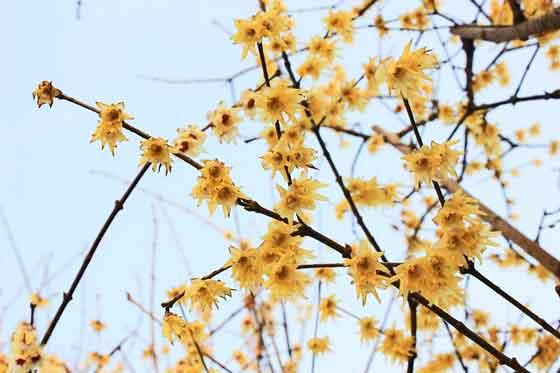 ロウバイは落葉低木